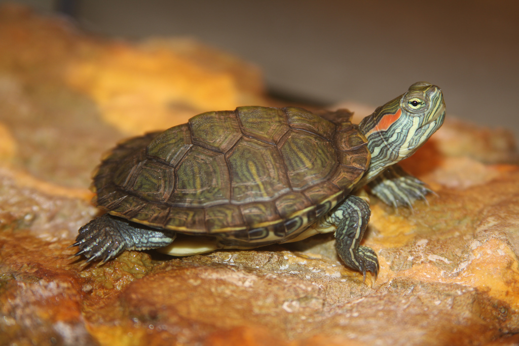 How To Take Care Of Aquatic Turtles : Taking Care of a Pet Turtle Pisces Pros